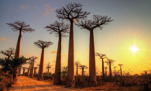 Baobab-Sunset-AdobeStock_163621331_small