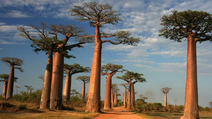 Zombie Baobabs – Coming Back From The Dead!
