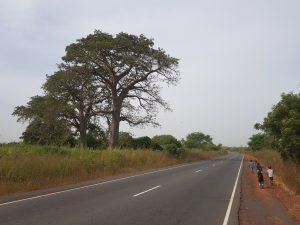 Roadside Baobab