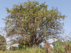 Baobab Fruit Bloom