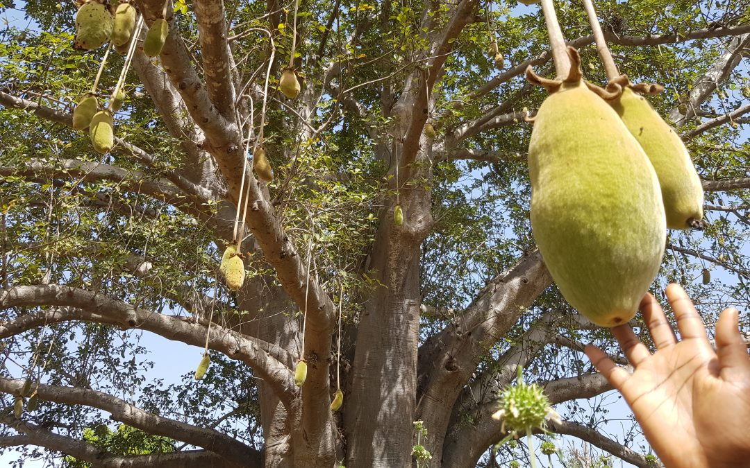 Part 2: Sustaining Baobabs In All Their Glory!