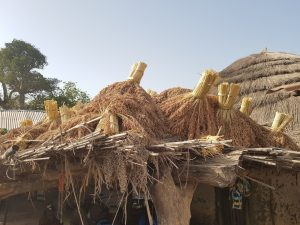 Sorghum harvest