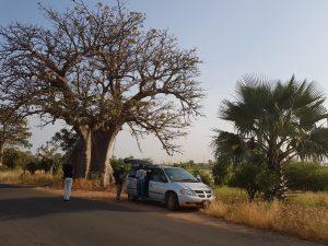 Bakau Baobab