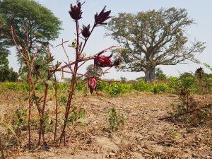 Hibiscus Baobabs