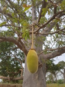 Baobab Fruit Hanging